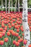 Tulipany i biała brzoza Zdjęcia Royalty Free