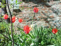 Tulipany i ceglany piec zdjęcia stock