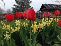 Tulipany i narcyz w ogródzie Obraz Stock