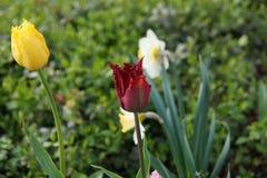 Tulipany i narcyzi Obrazy Stock