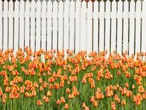 Tulipany i ogrodzenie Obraz Royalty Free