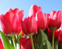 tulipany jaskrawe czerwone Fotografia Royalty Free