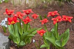 tulipany jaskrawe czerwone Zdjęcie Stock