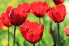Tulipany jednoczący w ich pięknie obrazy royalty free