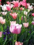 tulipany kolor Fotografia Royalty Free