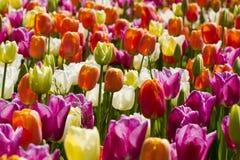 tulipany kolor zdjęcie royalty free