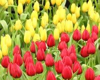 tulipany kolor Zdjęcia Stock