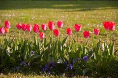 tulipany kolor tulipany w wiośnie, colourful tulipan Zdjęcie Royalty Free