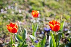 tulipany kolor tulipany w wiośnie, colourful tulipan Fotografia Royalty Free