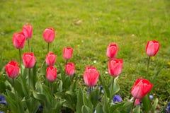 tulipany kolor tulipany w wiośnie, colourful tulipan Obrazy Stock