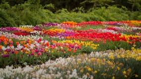 tulipany kolor tulipany w wiośnie, colourful tulipan Fotografia Stock