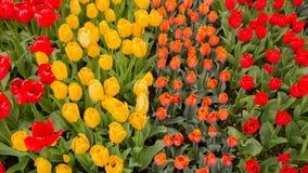 tulipany kolor tulipany w wiośnie, colourful tulipan Zdjęcia Stock