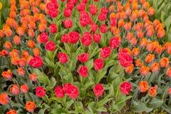 tulipany kolor tulipany w wiośnie, colourful tulipan Zdjęcie Stock