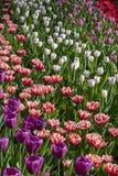 Tulipany kwitną, zielny palnt bloomin w wiośnie zdjęcie royalty free