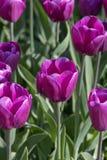 Tulipany kwitną, zielny palnt bloomin w wiośnie fotografia stock