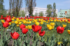 tulipany na żółte Obraz Stock