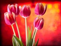 Tulipany na czerwieni Fotografia Royalty Free