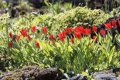 Tulipany na flowerbed kwiaty ogrodu jednoczącego kolor Obrazy Royalty Free