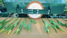 Tulipany na konwejerze dostają naciskali maszyną zbiory