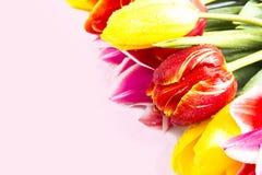 Tulipany na różowym tle Zdjęcia Stock