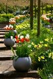 Tulipany na schodkach w ogródzie Tulipany w garnku Zdjęcie Stock