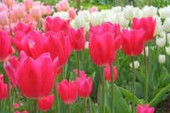 Tulipany odpowiadają lelui rodziny, Liliaceae Obrazy Stock