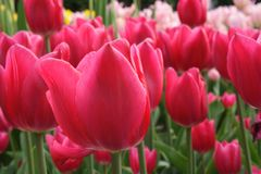Tulipany odpowiadają lelui rodziny, Liliaceae Zdjęcie Stock