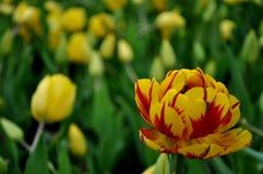 Tulipany otwierać zdjęcie stock