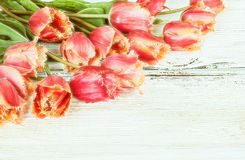 tulipany piękne Obraz Royalty Free