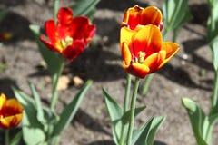 tulipany piękne Zdjęcia Stock