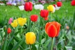Tulipany piękne bukietów tulipanów tulipany kolor Tulipany w wiośnie Obrazy Royalty Free