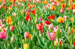Tulipany piękne bukietów tulipanów tulipany kolor Tulipany w wiośnie Obraz Royalty Free