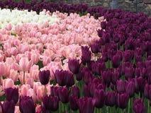 tulipany piękne Fotografia Royalty Free