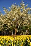 Tulipany pod brzoskwini drzewa kwiatami obraz stock
