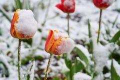 Tulipany pod śniegiem Zdjęcia Stock