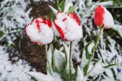 Tulipany pod śniegiem Zdjęcia Royalty Free