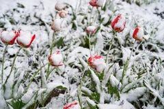 Tulipany pod śniegiem Obrazy Stock