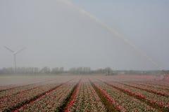 tulipany pod wodą Zdjęcie Royalty Free