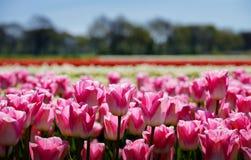 Tulipany pole Fotografia Royalty Free