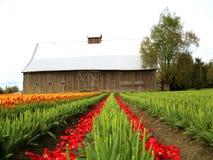 tulipany polewa Zdjęcia Royalty Free