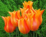tulipany pomarańczowe Zdjęcie Royalty Free