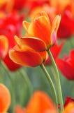 tulipany pomarańczowe Obrazy Royalty Free