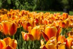 tulipany pomarańczowe kolor tulipany polowe Fotografia Stock