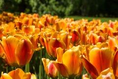 tulipany pomarańczowe kolor tulipany polowe Obraz Stock