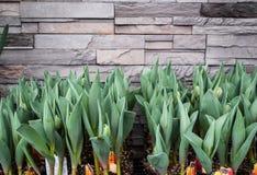 Tulipany przeciw ścianie na kwiatu rynku opóźniają Obraz Stock