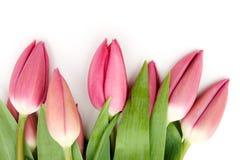 tulipany purpurowych Obraz Royalty Free