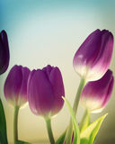 tulipany purpurowych Zdjęcia Royalty Free