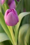tulipany purpurowych Obrazy Stock