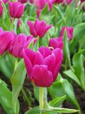 tulipany purpurowych Zdjęcie Royalty Free