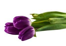 tulipany purpurowych Obrazy Royalty Free